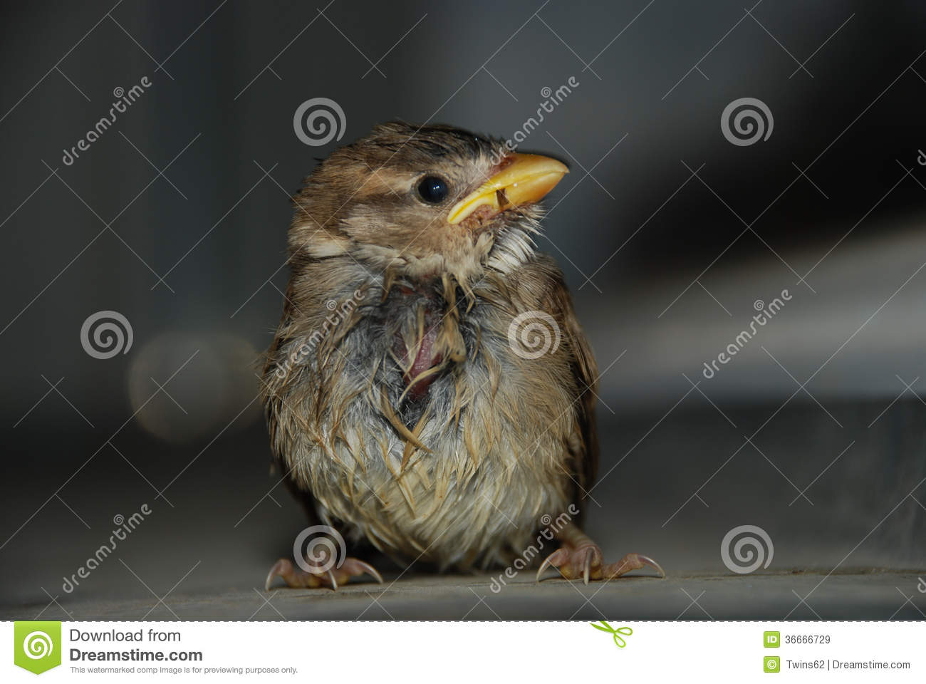 Portrait of small, wet sparrow