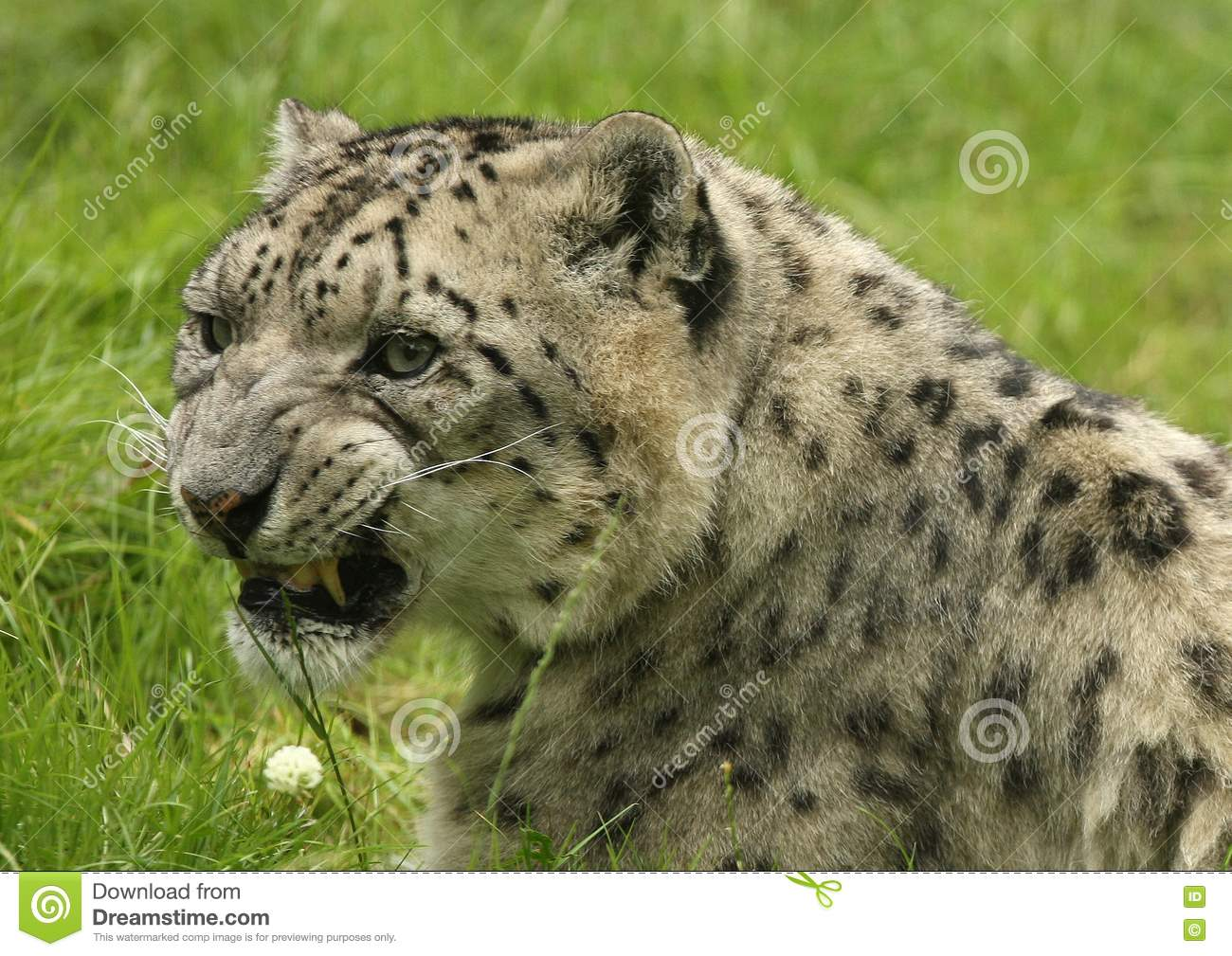 Portrait Of A Snow Leopard Royalty Free Stock Image