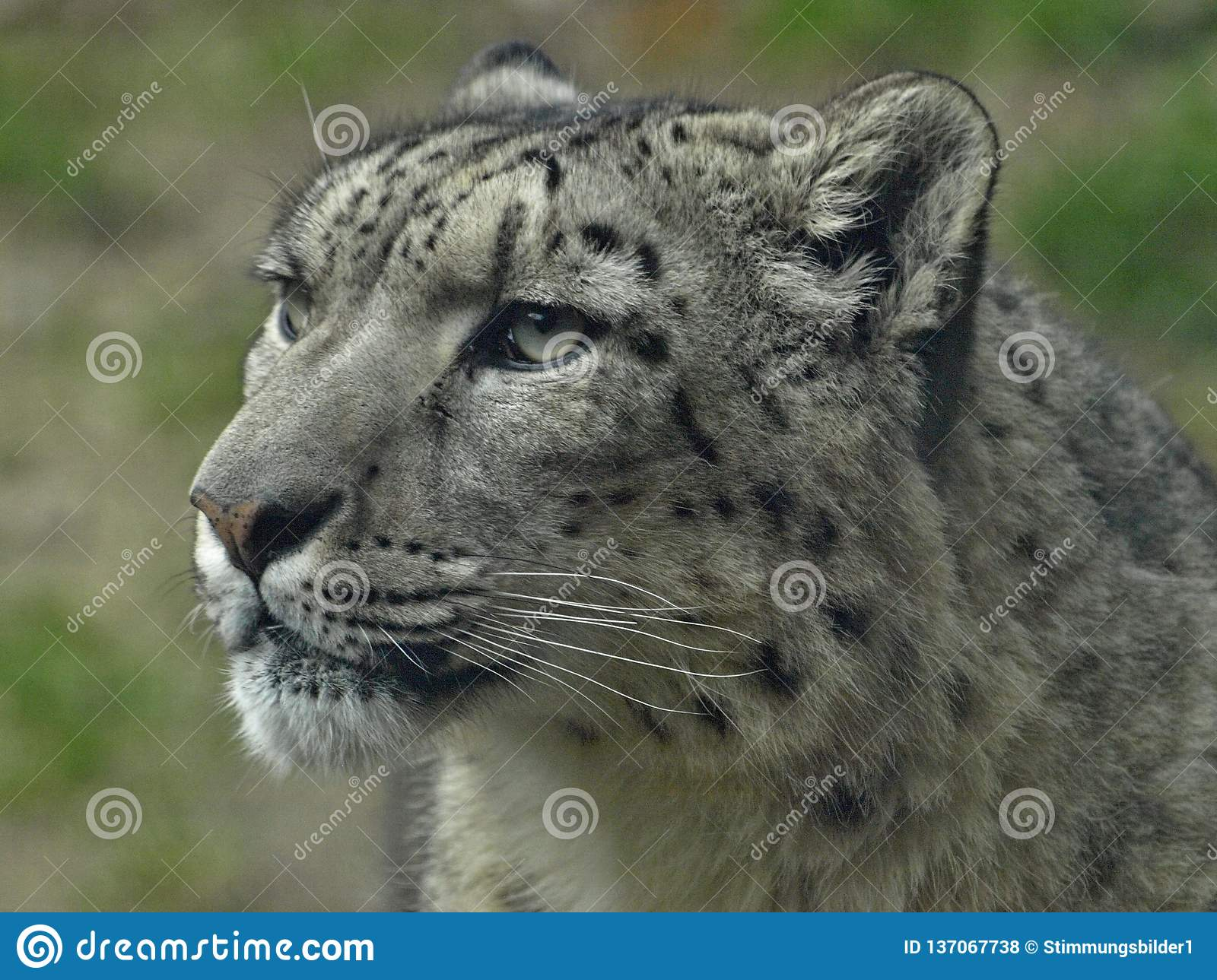 Macro of the head of a snow leopard