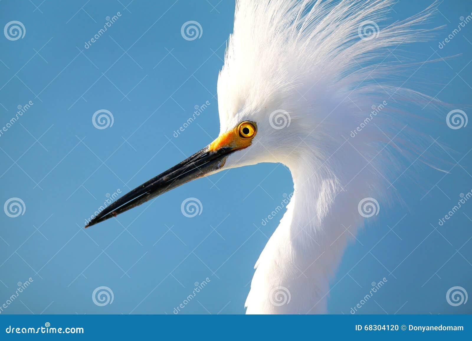 Download Portrait of Snowy egret stock photo. Image of closeup - 68304120