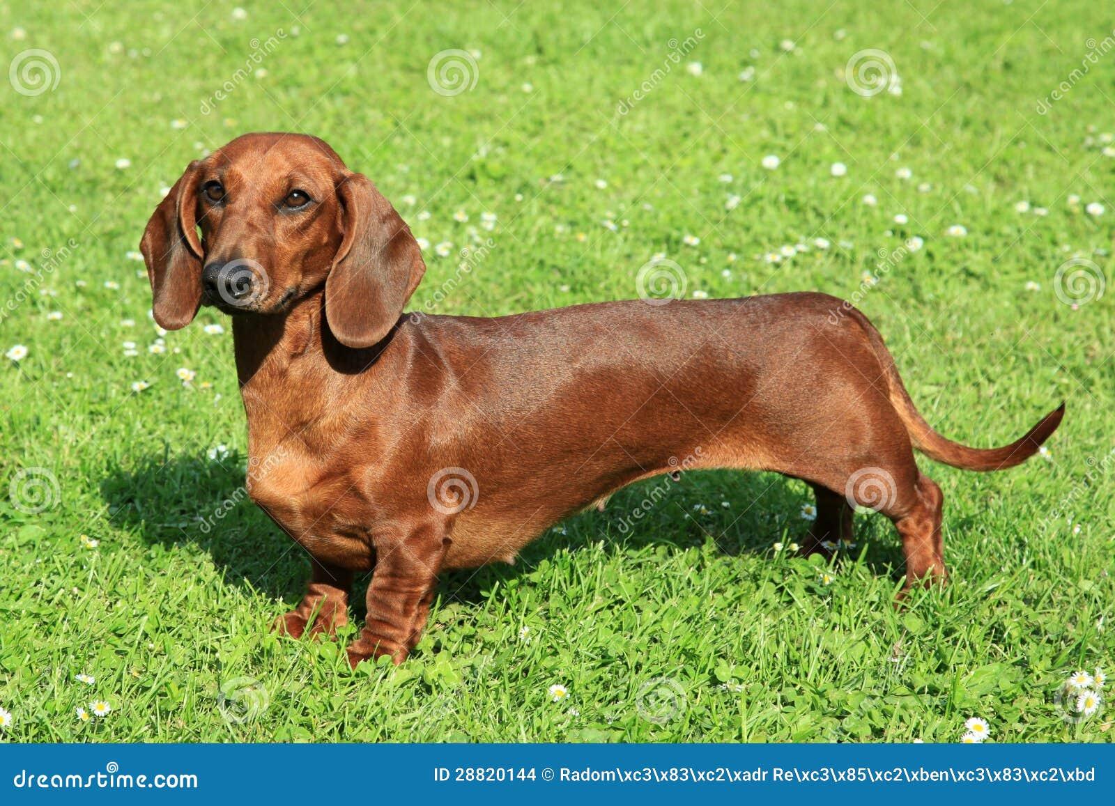 Wiener Dog Review