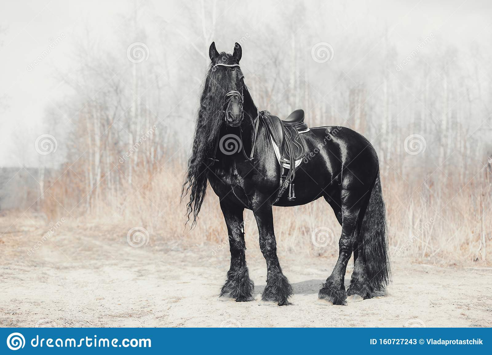 Stunning Friesian Stallion Horse In Spring Forest Stock Image Image Of Daytime Beautiful 160727243