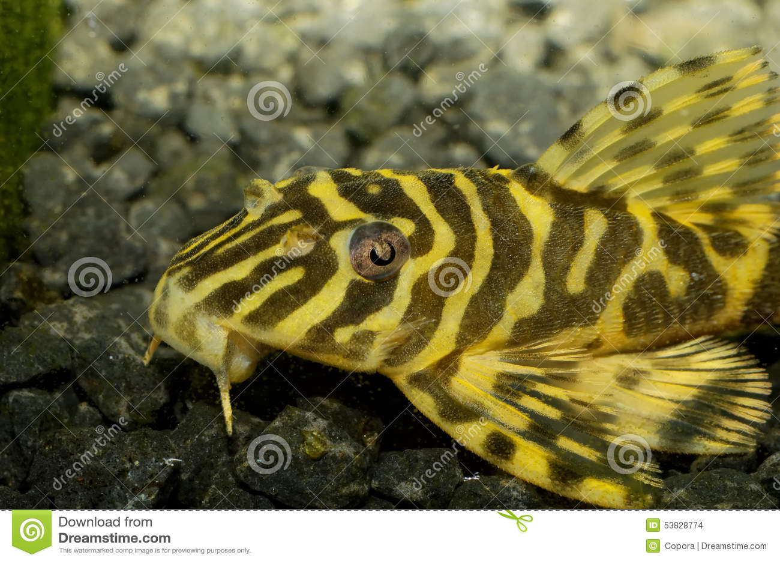 Suckermouth fish