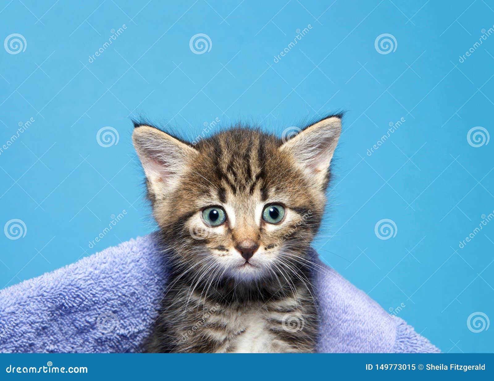 Portrait of a tabby kitten peeking out of a blanket