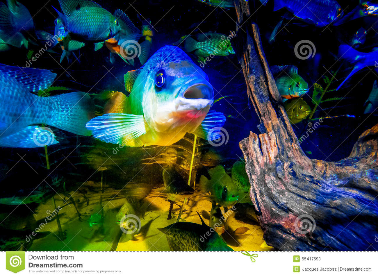 Portrait of talapia in a fish tank stock photo image for What kind of fish is tilapia