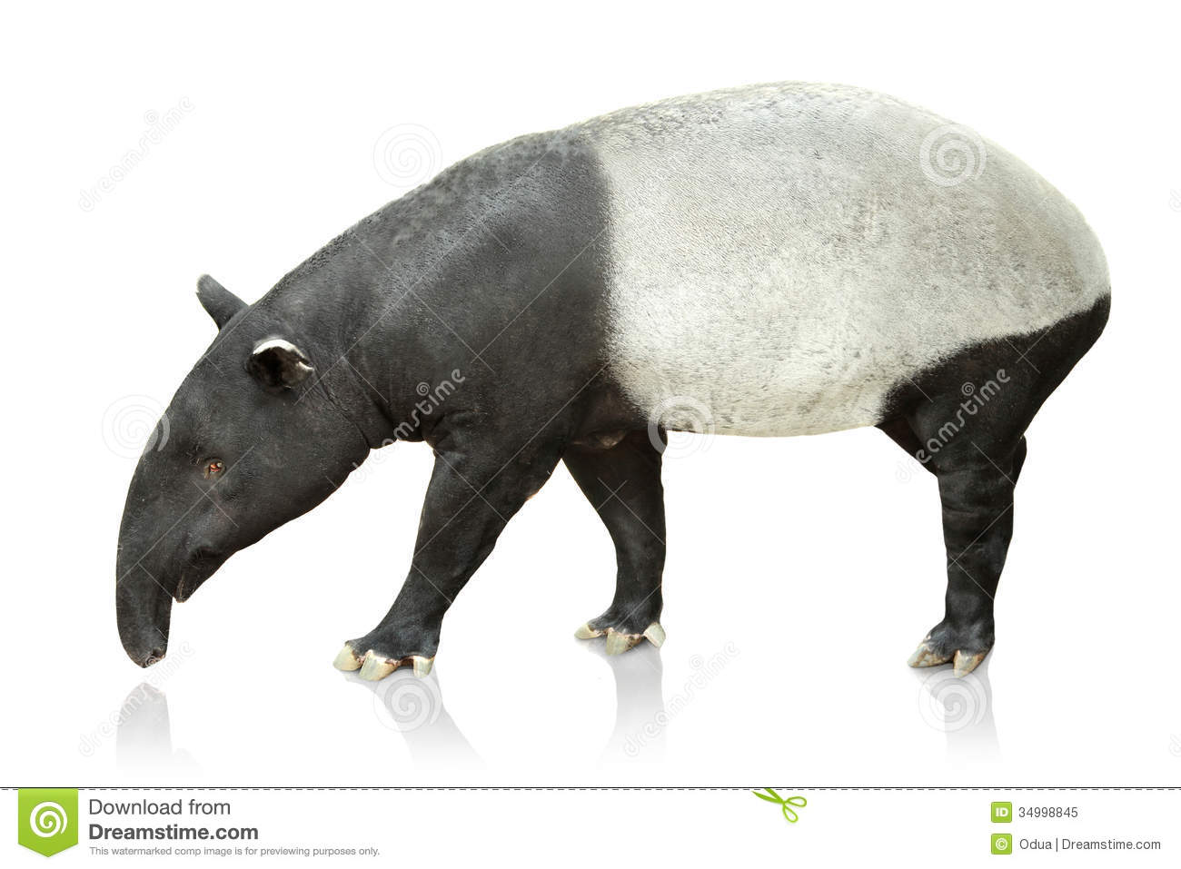 portrait of tapir on white background royalty free stock photo