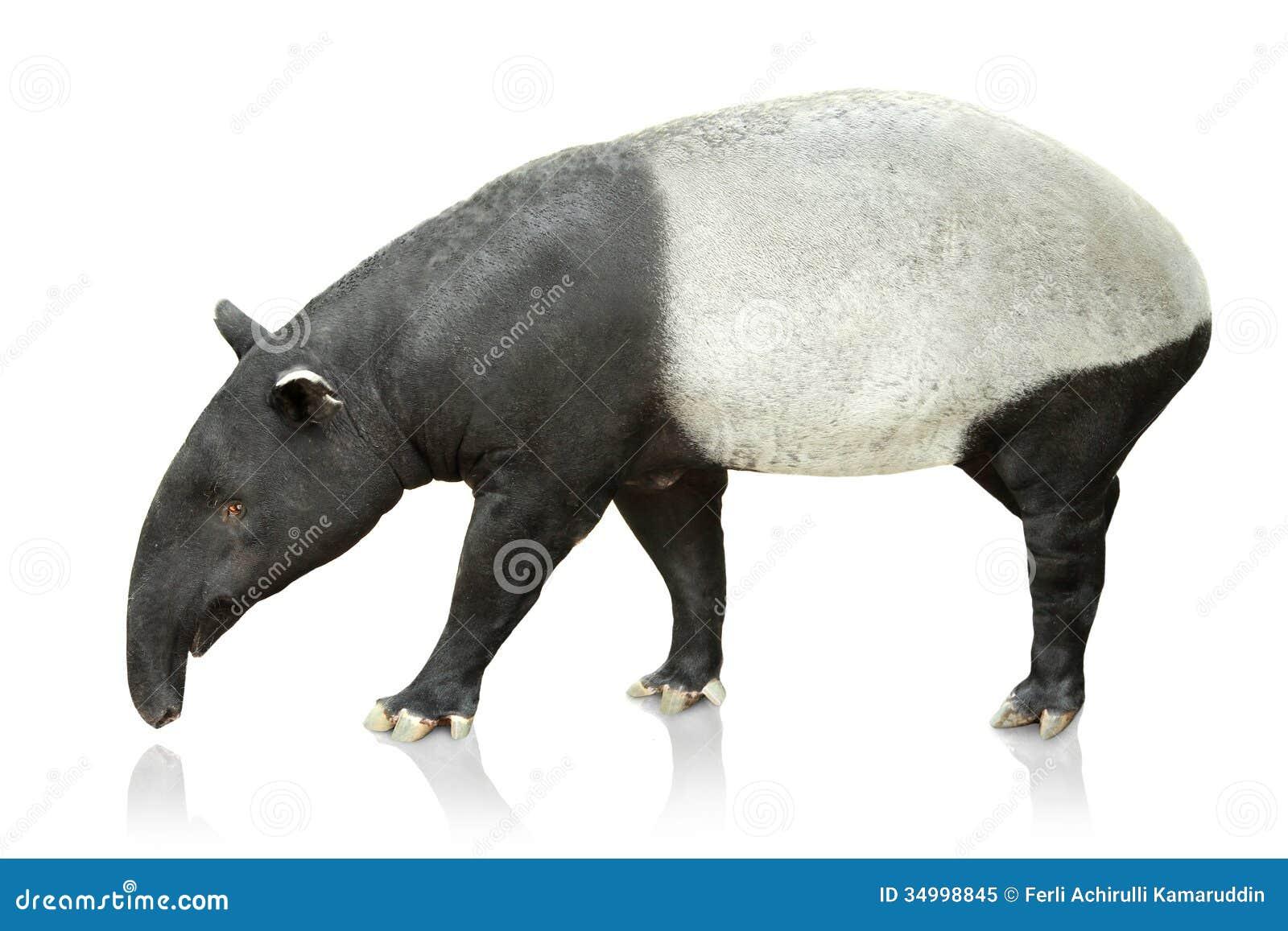 portrait of tapir on white background royalty free stock photo