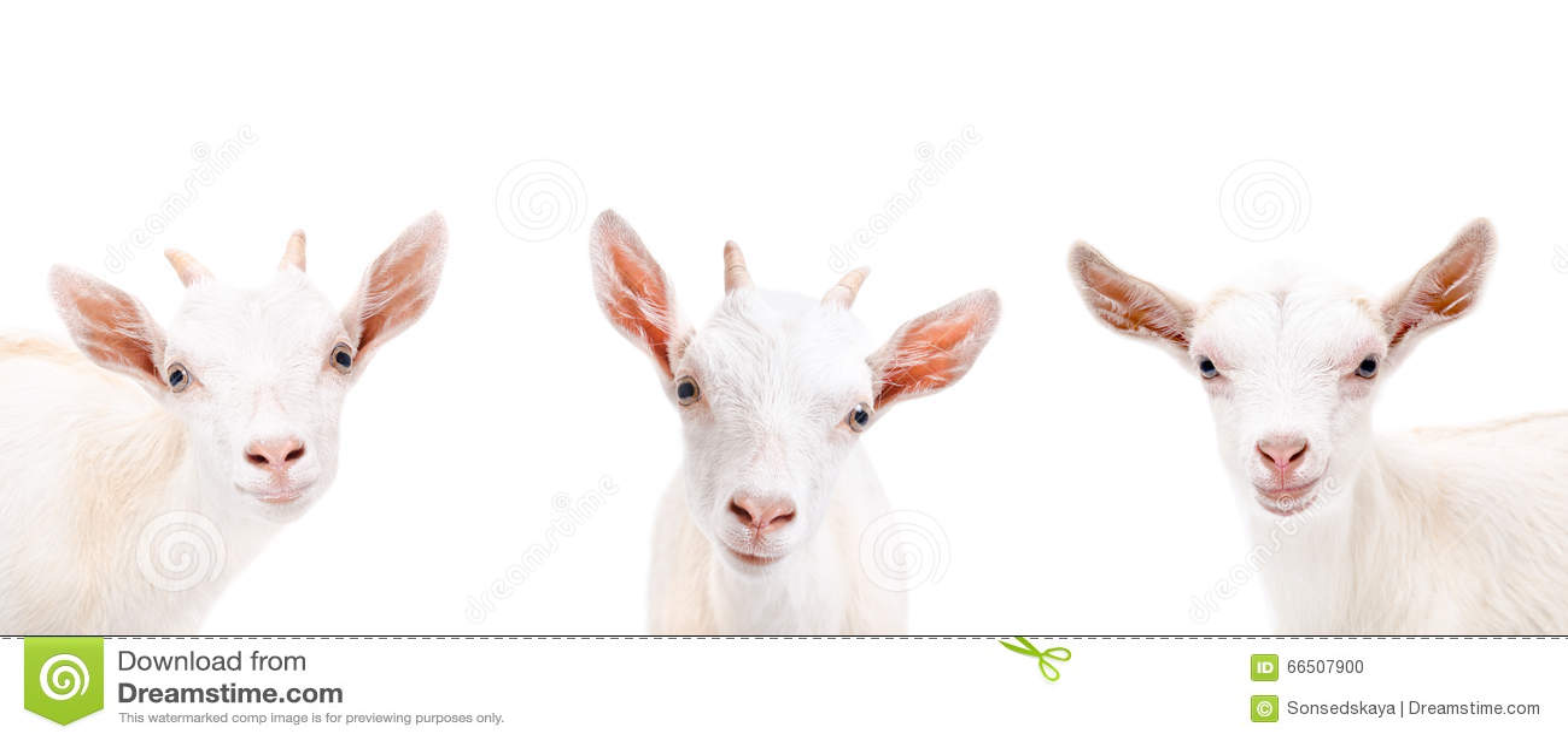 Portrait of three cute goat