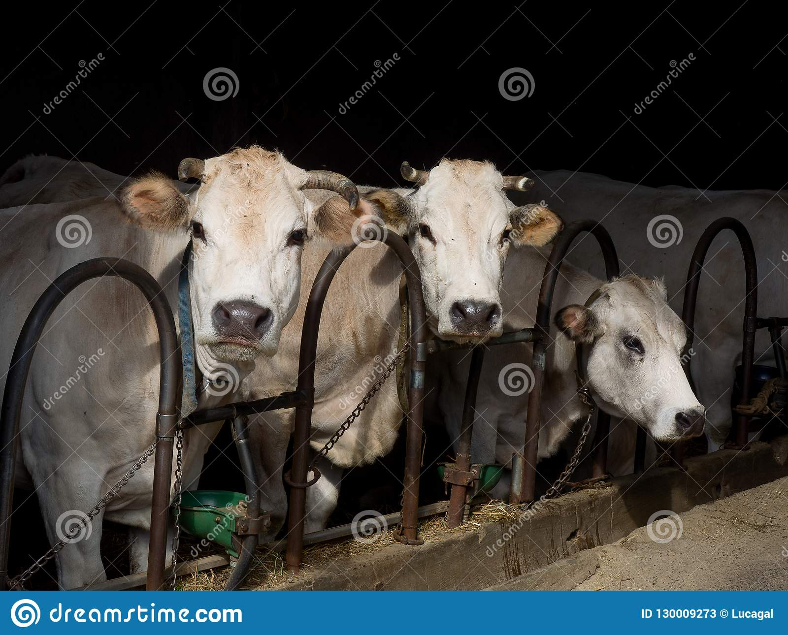 Portrait of three white dairy cows in a stable