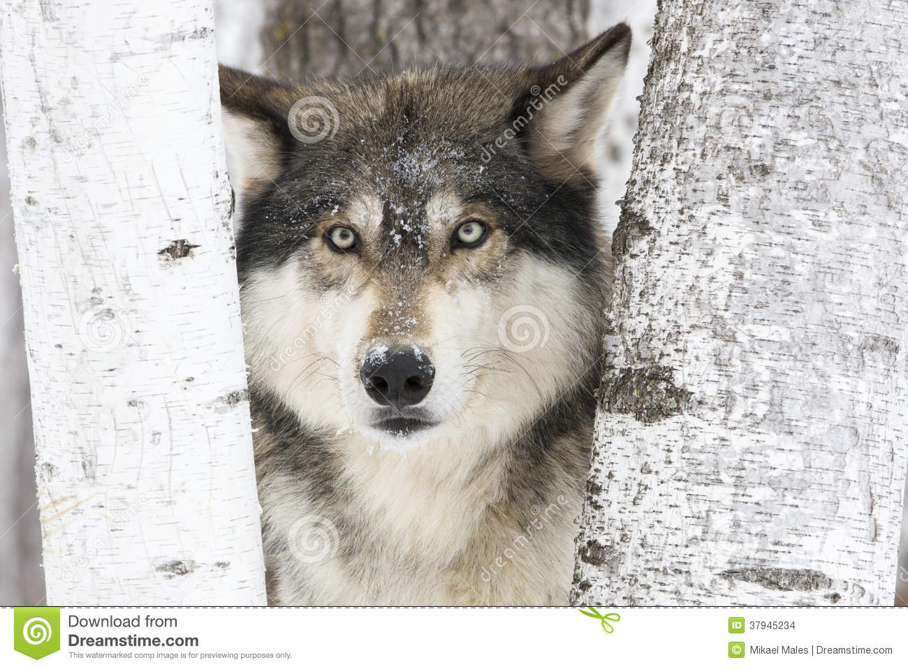 Download Portrait timber wolf stock photo. Image of licking, mammals - 37945234