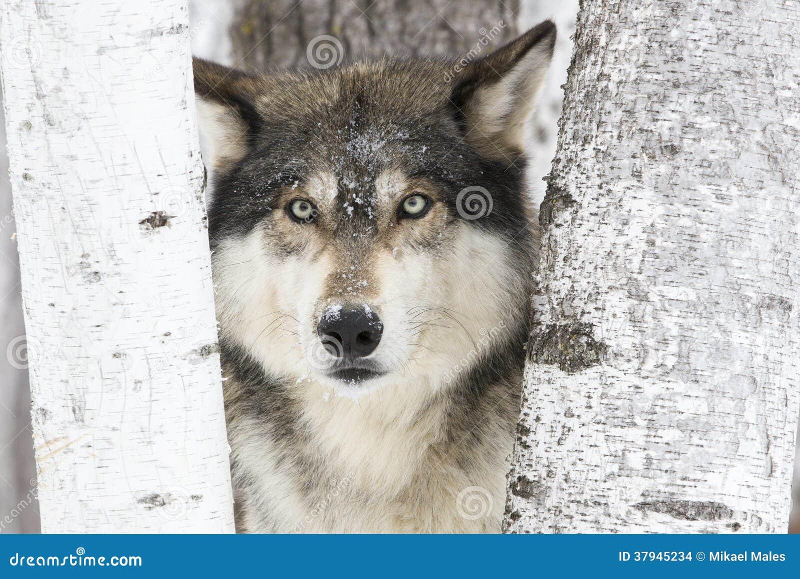 Portrait timber wolf