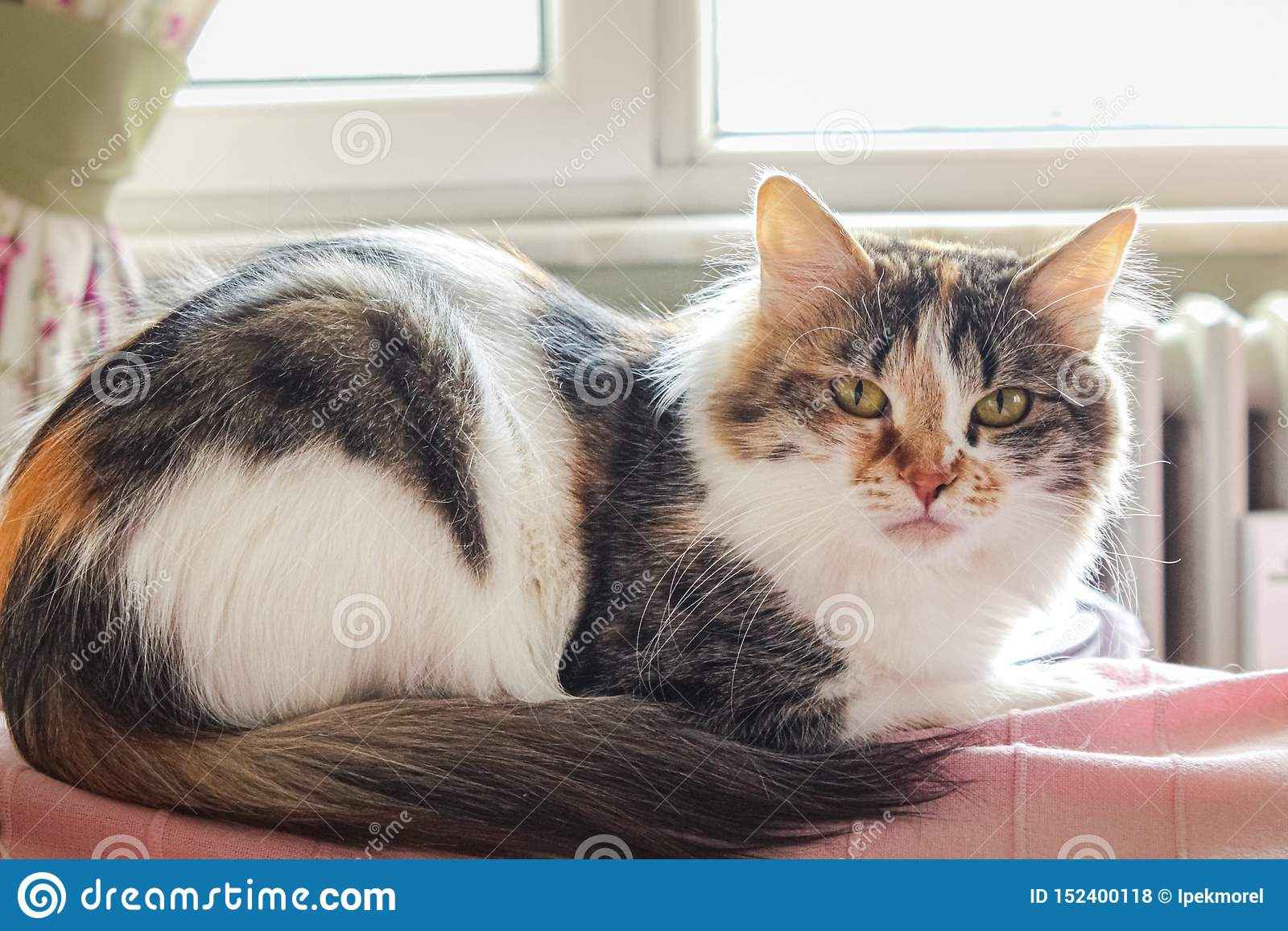 Portrait Of A Tricolor Cat At Home Stock Photo Image Of Feline Animal 152400118
