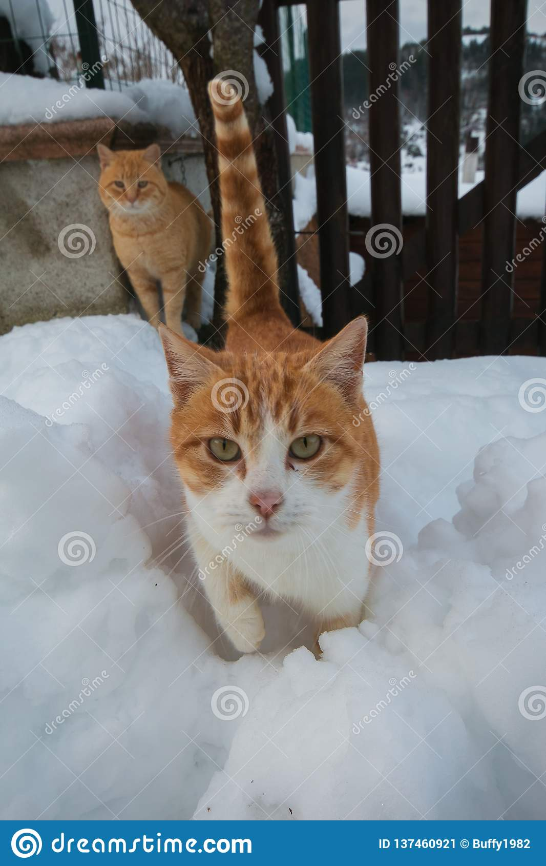 Portrait of two cat in the snow