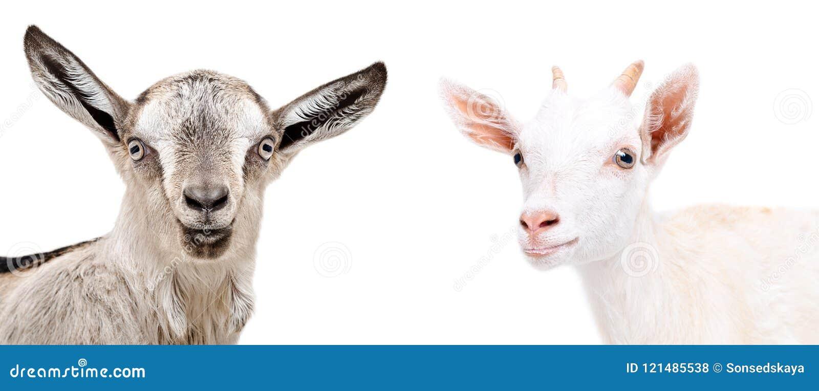 Portrait of two cute goat
