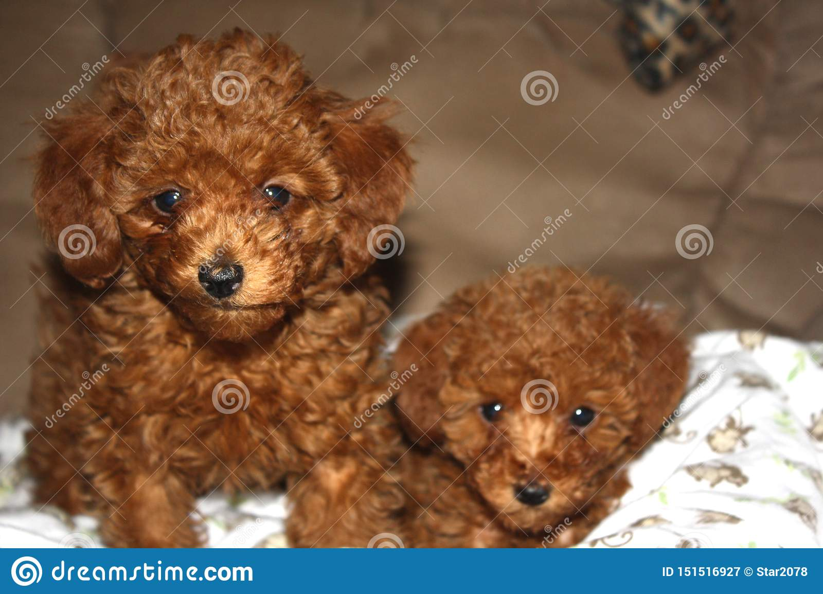 Portrait Of Two Red Toy Poodle Puppies Stock Image Image Of Poodle Soft 151516927