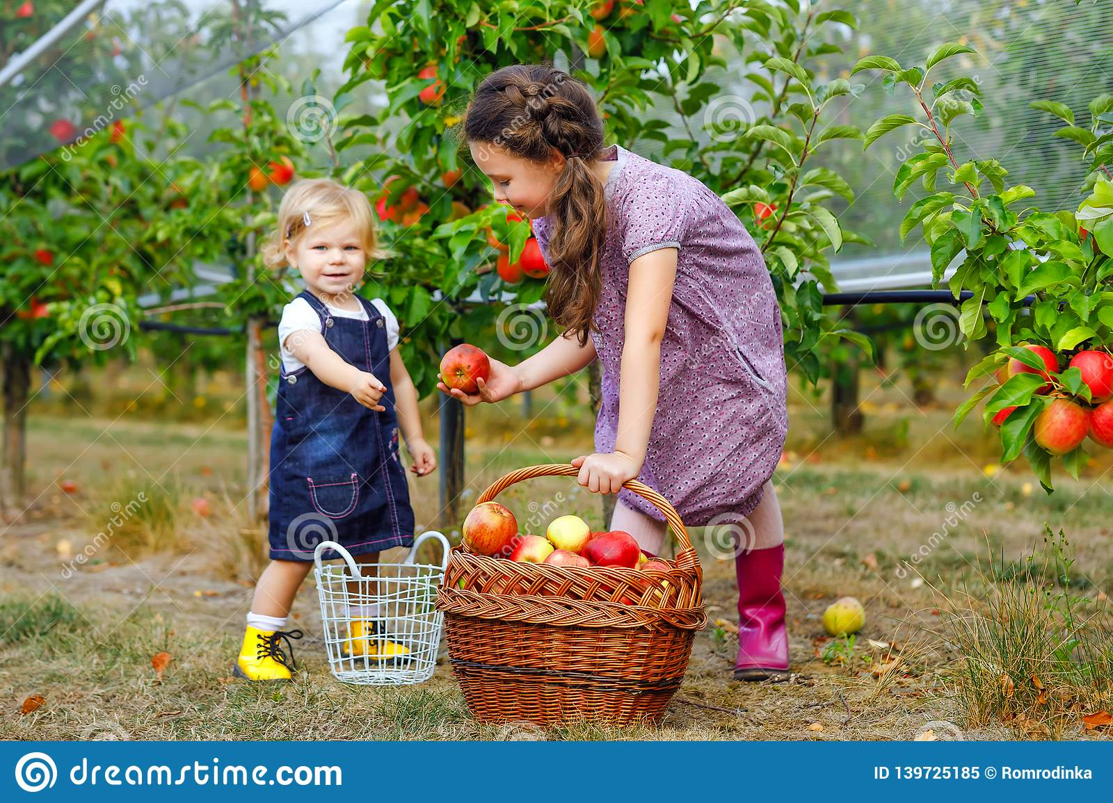 Portrait two siblings girls, little toddler and kid with red apples in organic orchard. Happy siblings, children