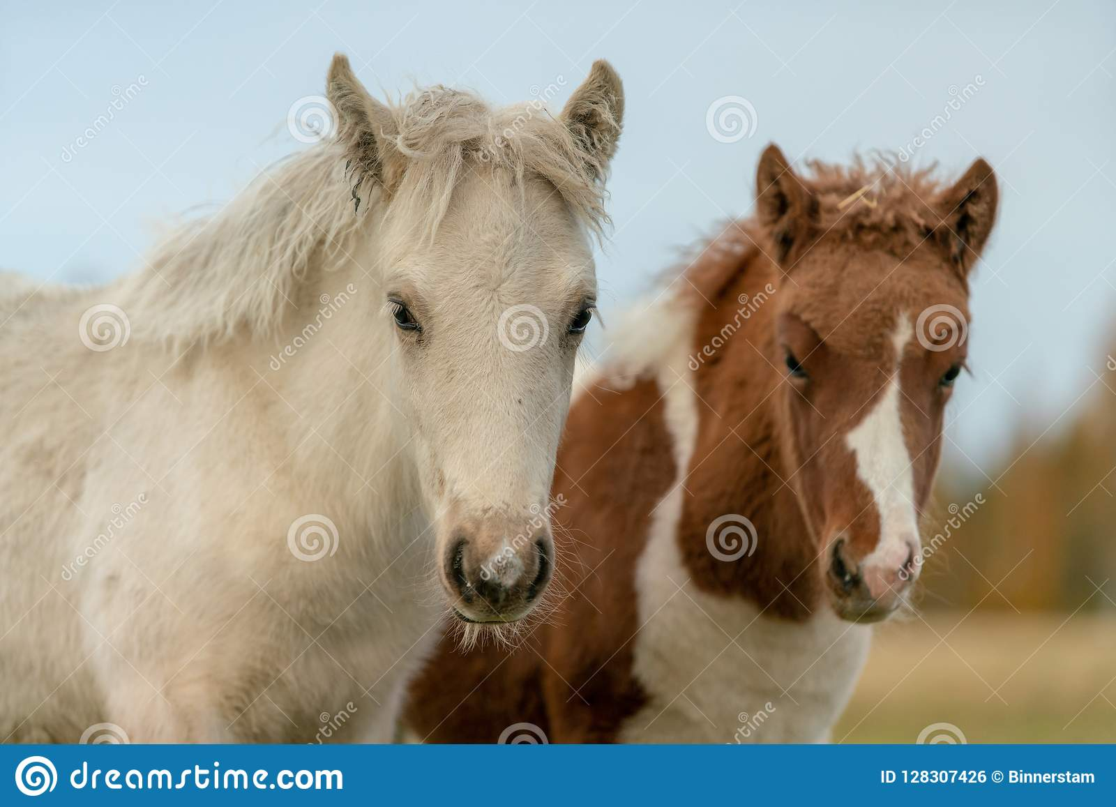 Two young Icelandic horse foal