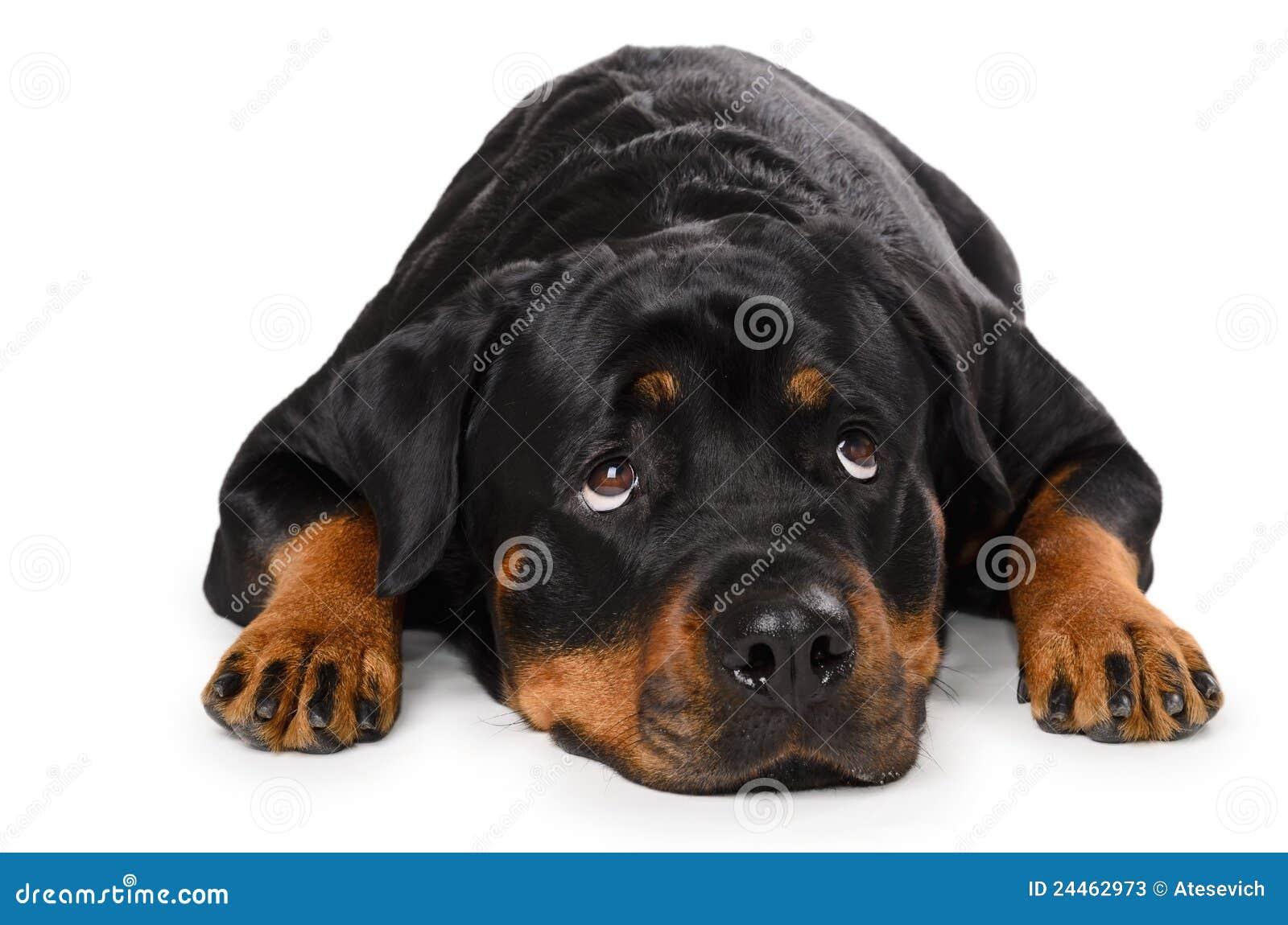 Portrait von jungem Rottweiler