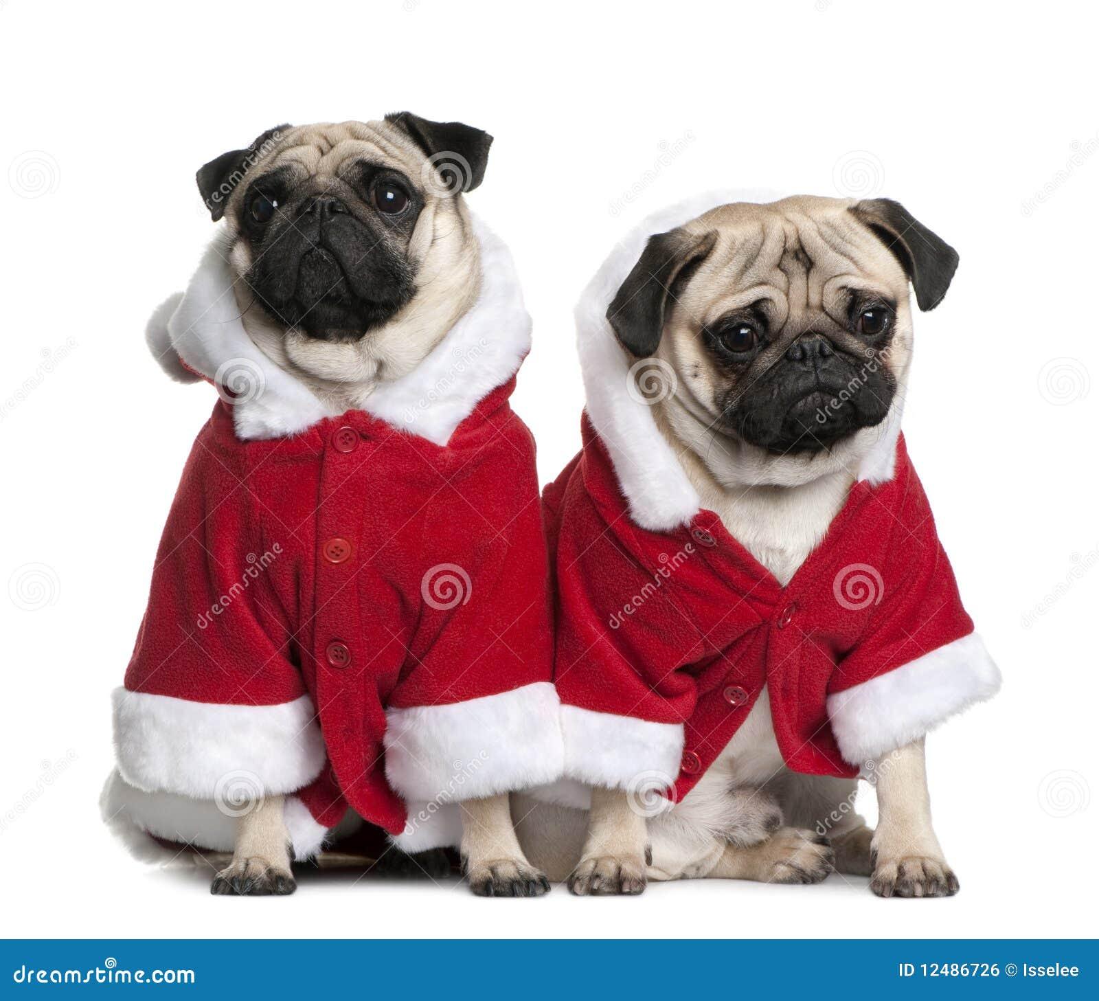 Portrait von zwei Pugs, gekleidet im Sankt-Mantel