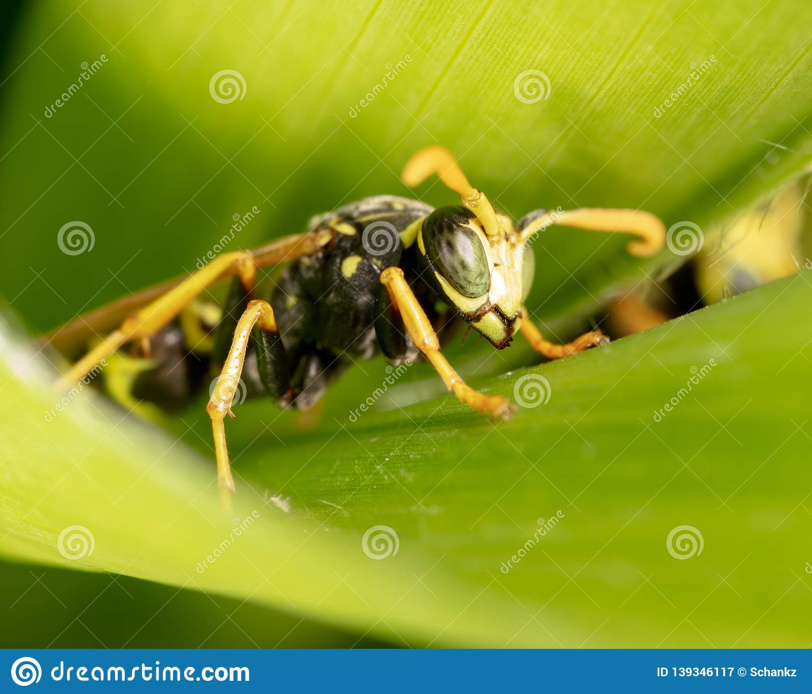 Portrait of a wasp on a green leaf