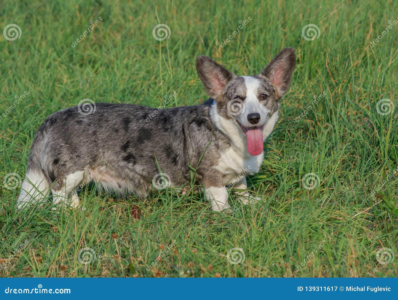 Welsh Corgi Cardigan Dog Breed Information and Personality Traits