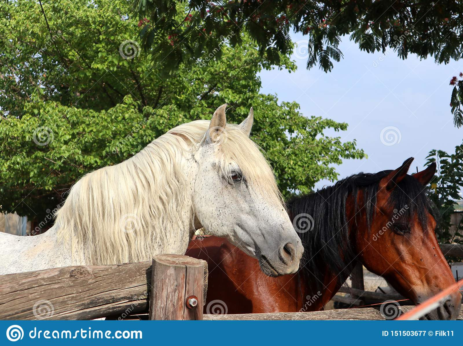 Portrait Of A White And A Brown Horse Close Up Of Horses In A Barn Stock Image Image Of Brown Mane 151503677