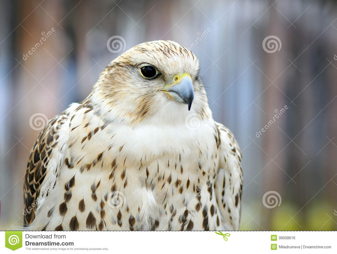 Portrait Of A White Falcon Bird Of Prey Stock Photo ...