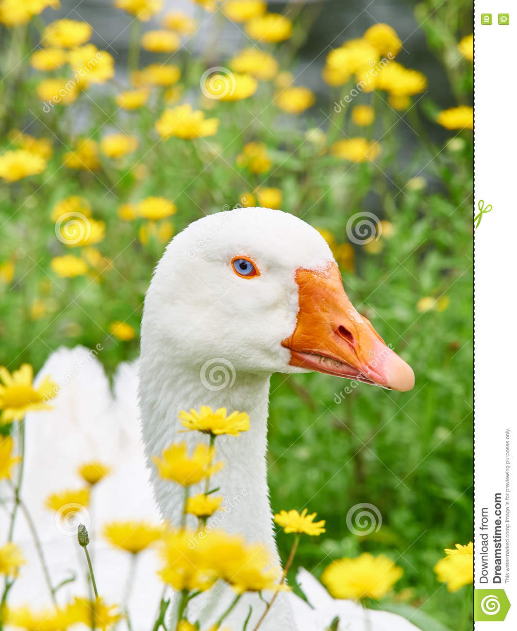 Portrait of a white geese in the grass surrounded by yellow flowers