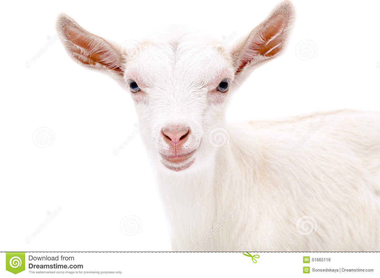 Portrait of a white goat stock photo. Image of curious ...  One Goat White Background