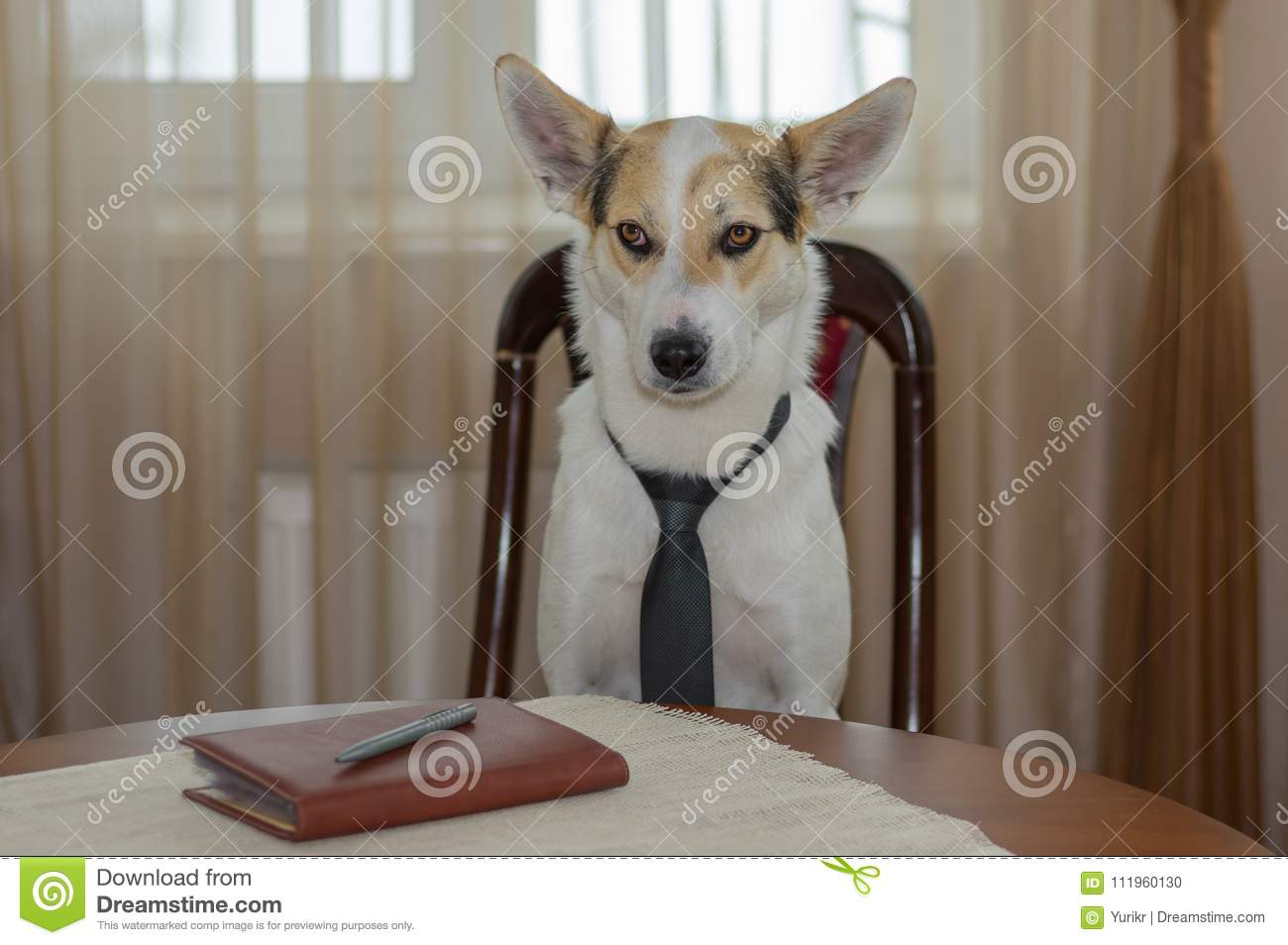 Portrait of white mixed-breed dog wearing necktie, hard thinking while sitting on a chair at the table