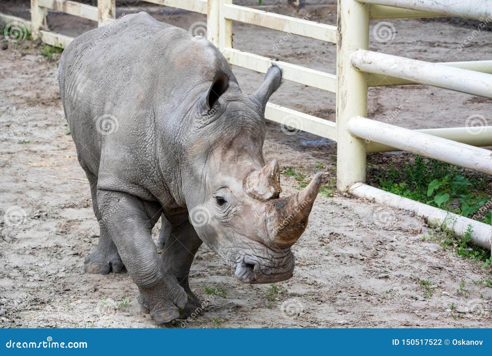 Portrait of White rhinoceros or Ceratotherium simum in captivity