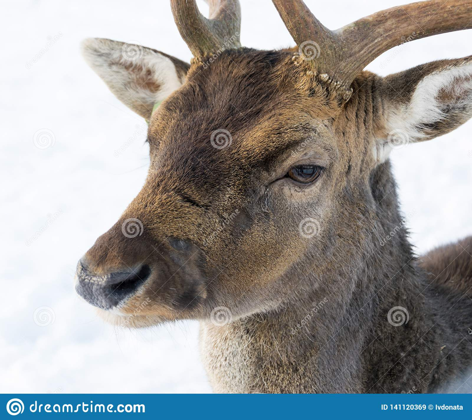 Portrait of a white-tailed deer in winter against the background of white snow
