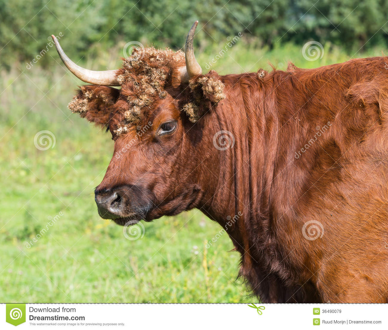 Portrait of a wild red cow with burdocks