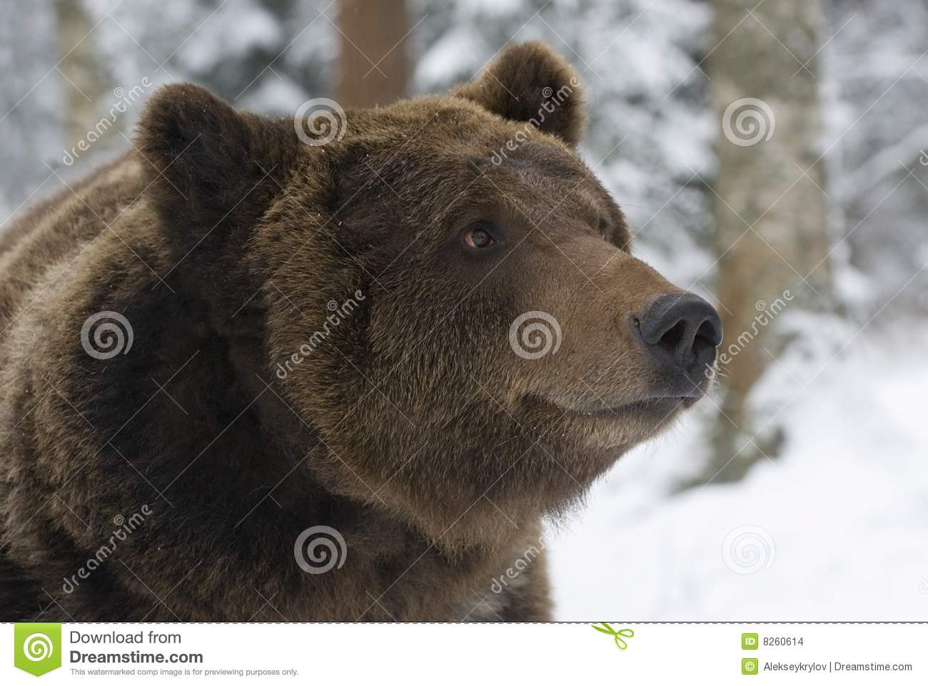 Stock images: portrait of wild russian bear