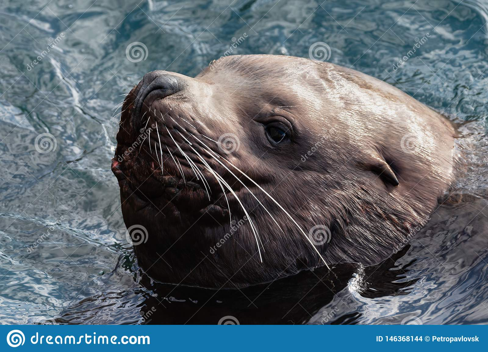 Portrait of wild sea mammal animal Northern Sea Lion swims in cold waves Pacific Ocean