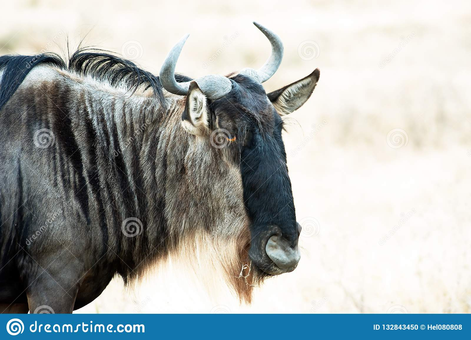 Wildebeest Head, closeup of wildebeest in savannah of Serengeti, Tanzania