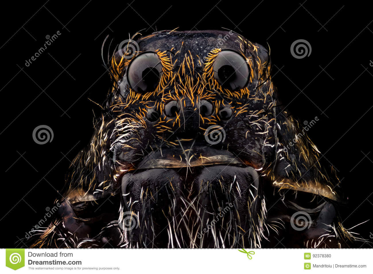 Download Portrait of a wolf spider stock photo. Image of araneae - 92378380