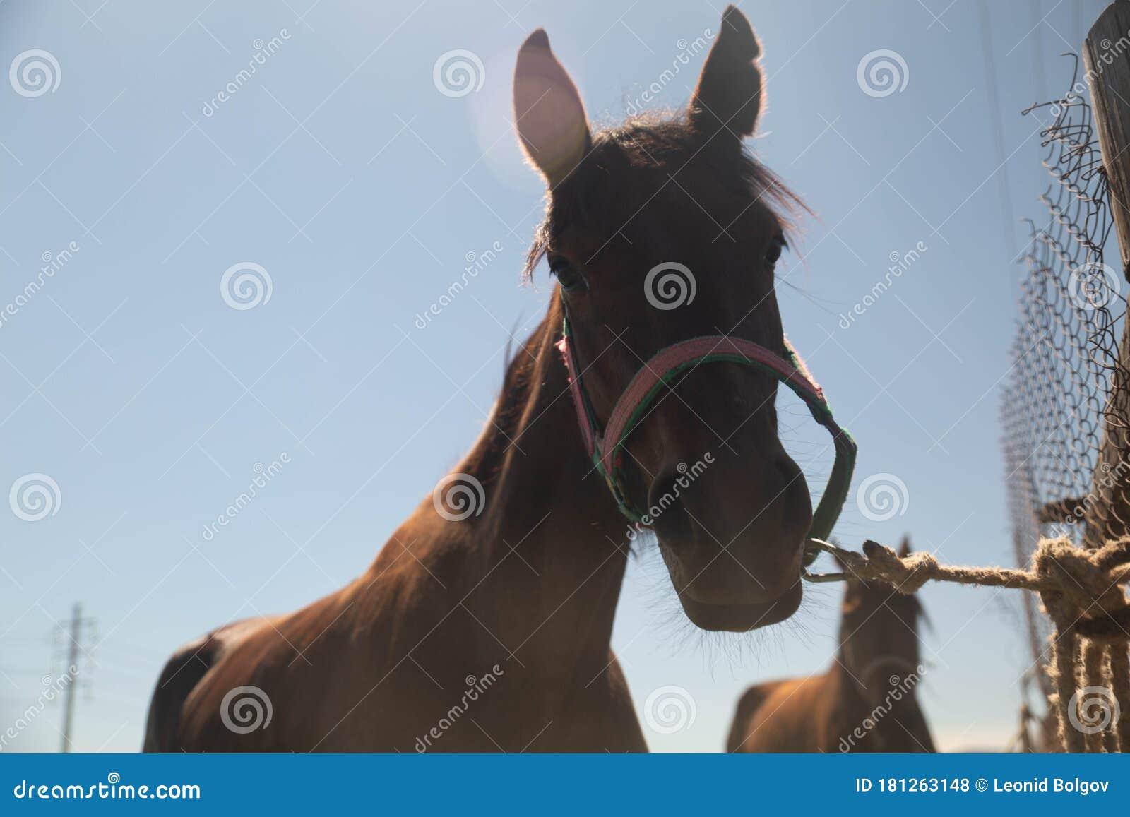 Portrait Of Wonderful Bay English Horse Horse Head Close Up Stock Photo Image Of Isolated Black 181263148