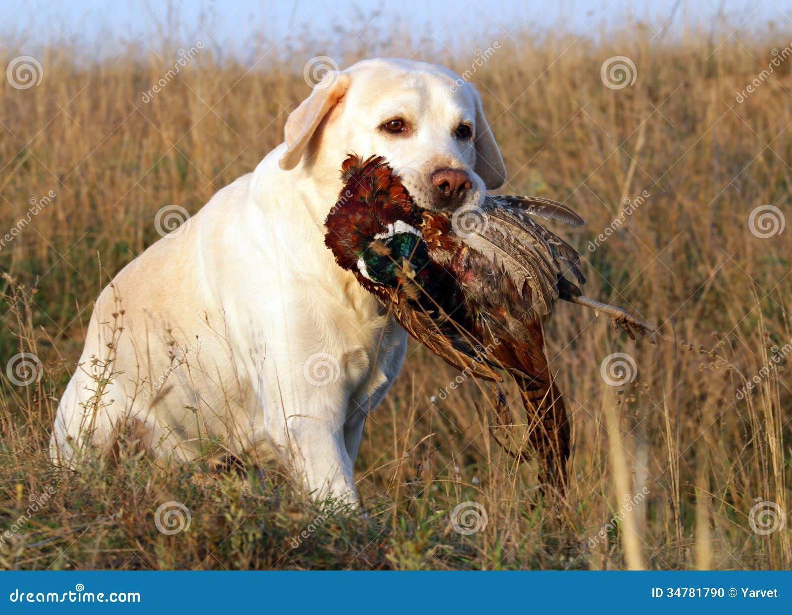 Portrait Of Yellow Labrador With Pheasant Stock Photo ...  Portrait Of Yel...
