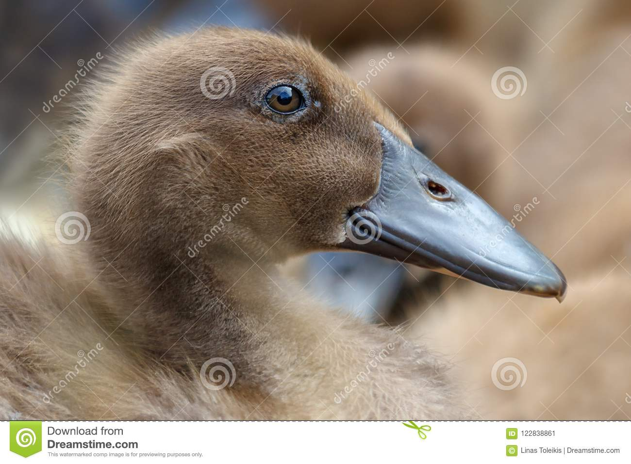 portrait of young brown nice and fluffy duckling stock image image