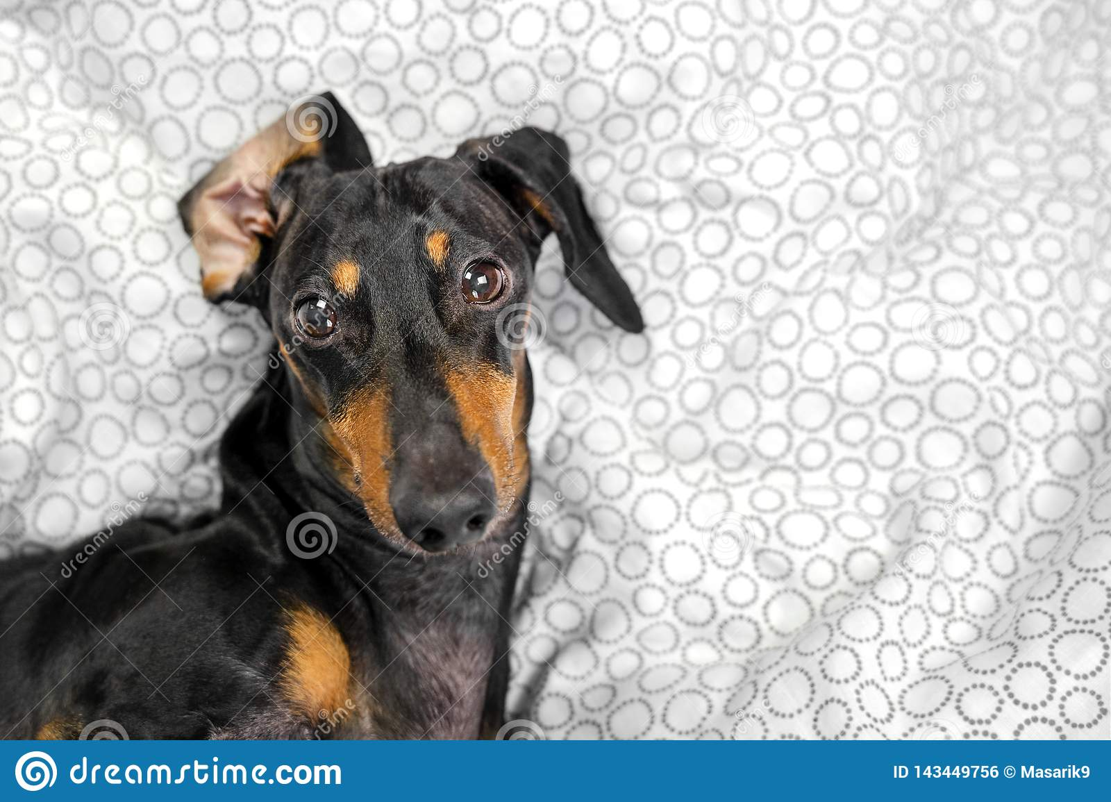 Portrait of a young dachshund dog, black and tan, play the ape in a bed at home