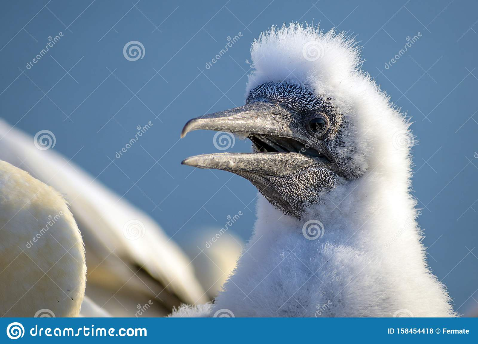 Portrait of a young northern gannet Morus bassanus with fluffy plumage, the seabird is living on the rocks of the north sea