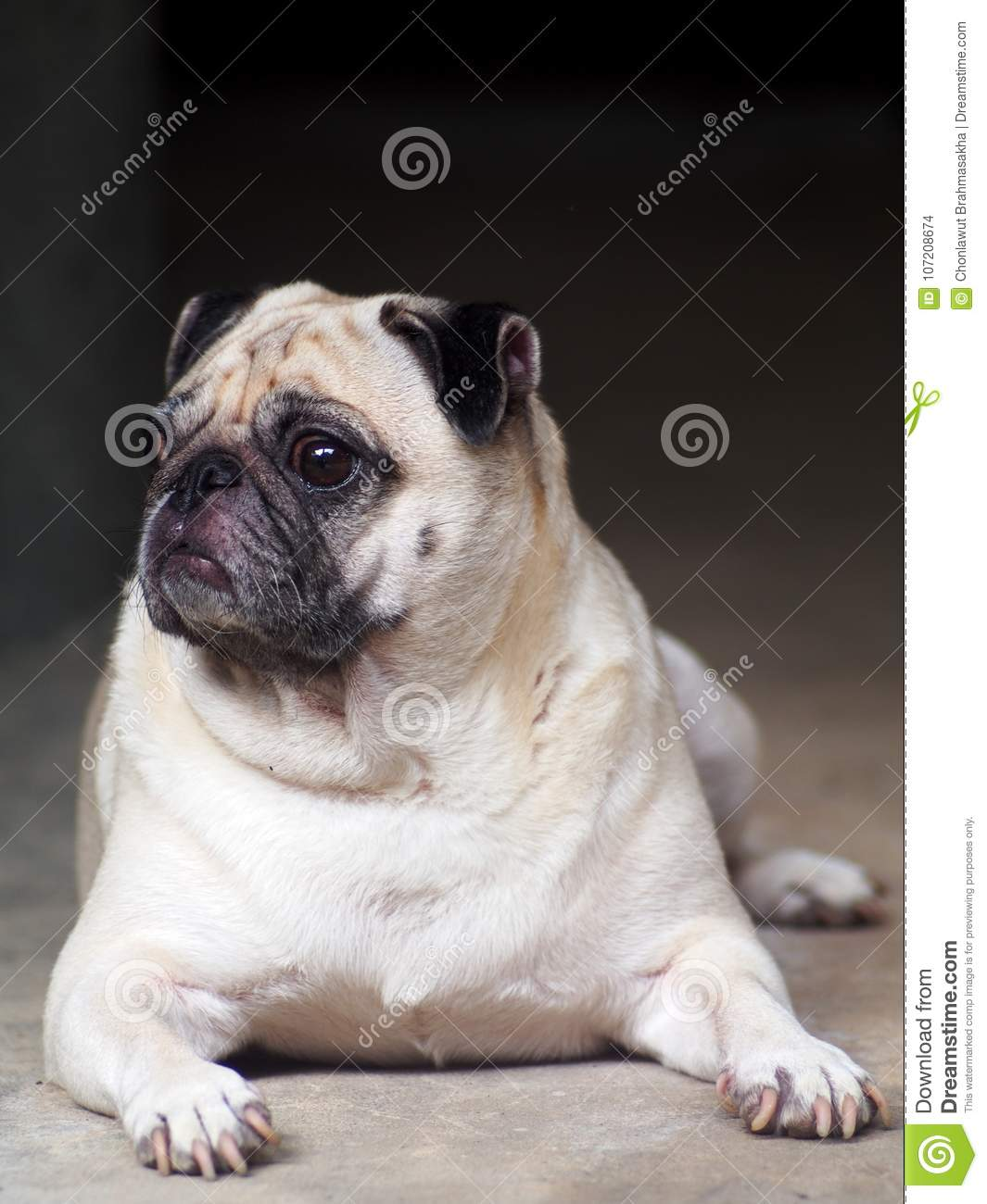Portraits photo of a lovely white fat cute pug dog laying relaxing on warm concrete garage floor making sad and lonesome face under natural summer sunlight