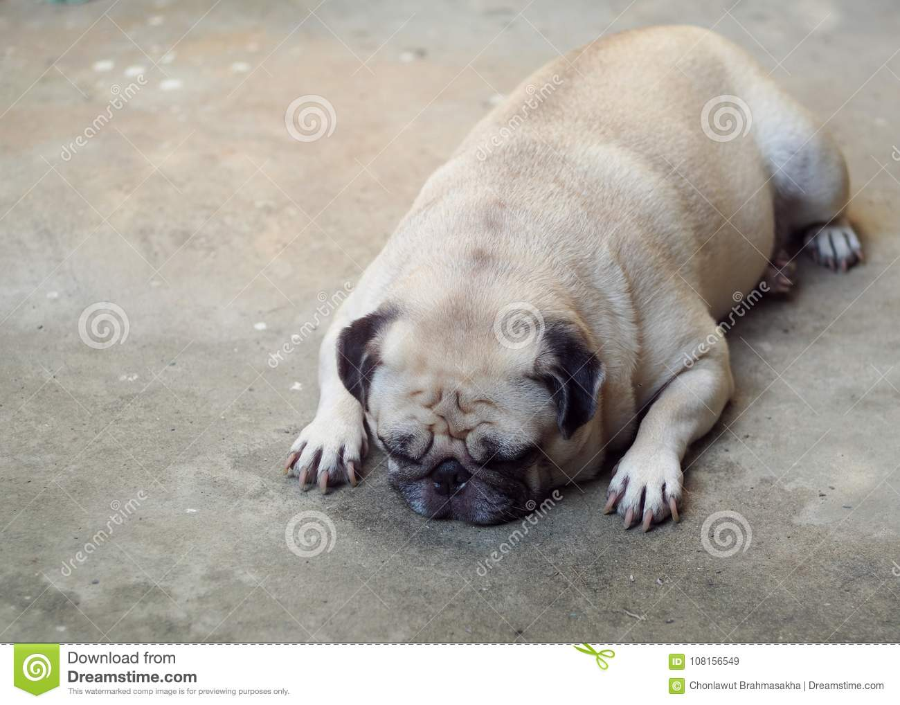 Portraits photo of a lovely white fat cute pug dog laying flat on concrete garage floor making sad and lonesome face under warm natural sunlight