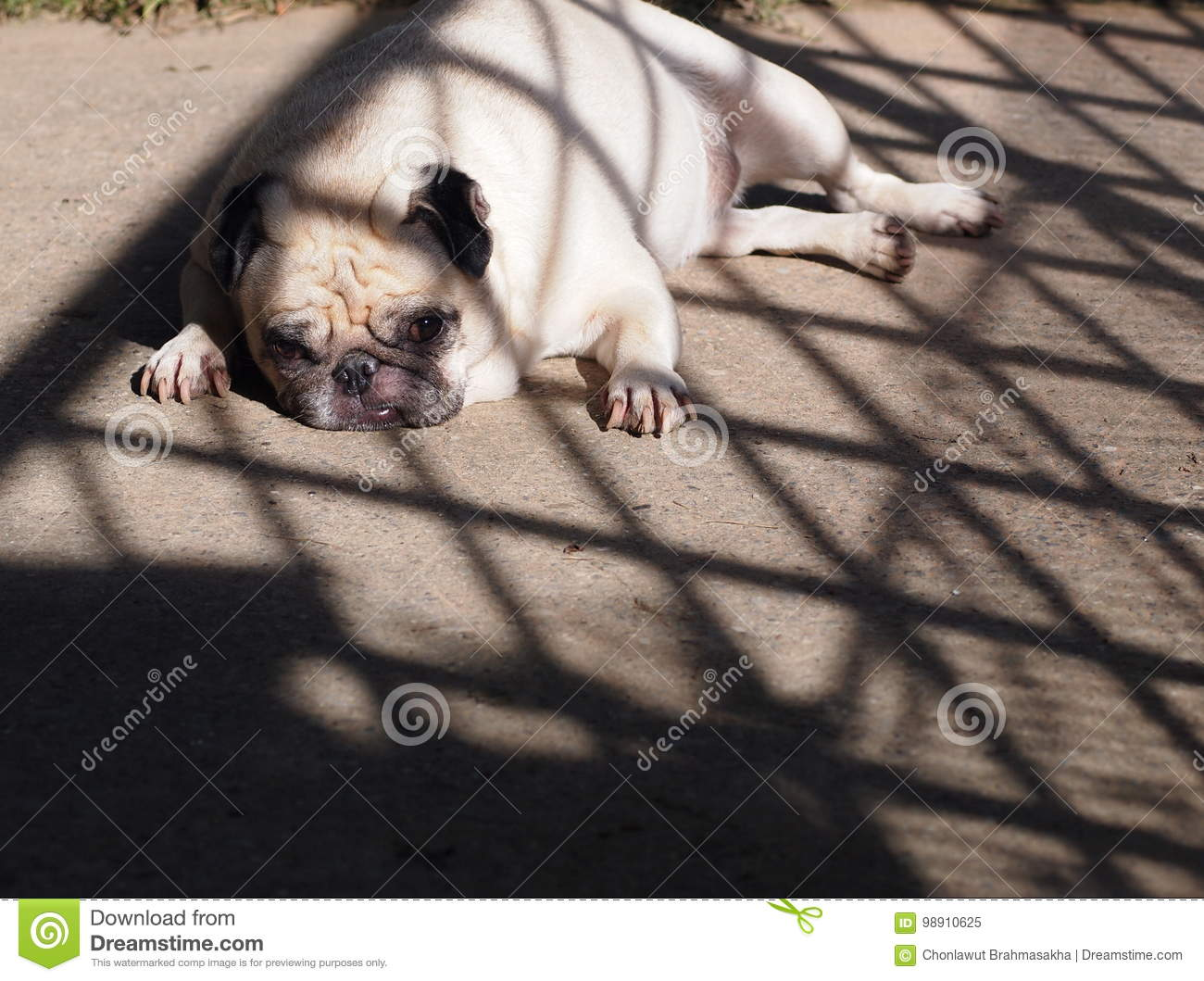 Portraits photo of a lovely white fat cute pug dog laying flat on grey color concrete floor making sad and lonesome face under natural sunlight outdoor