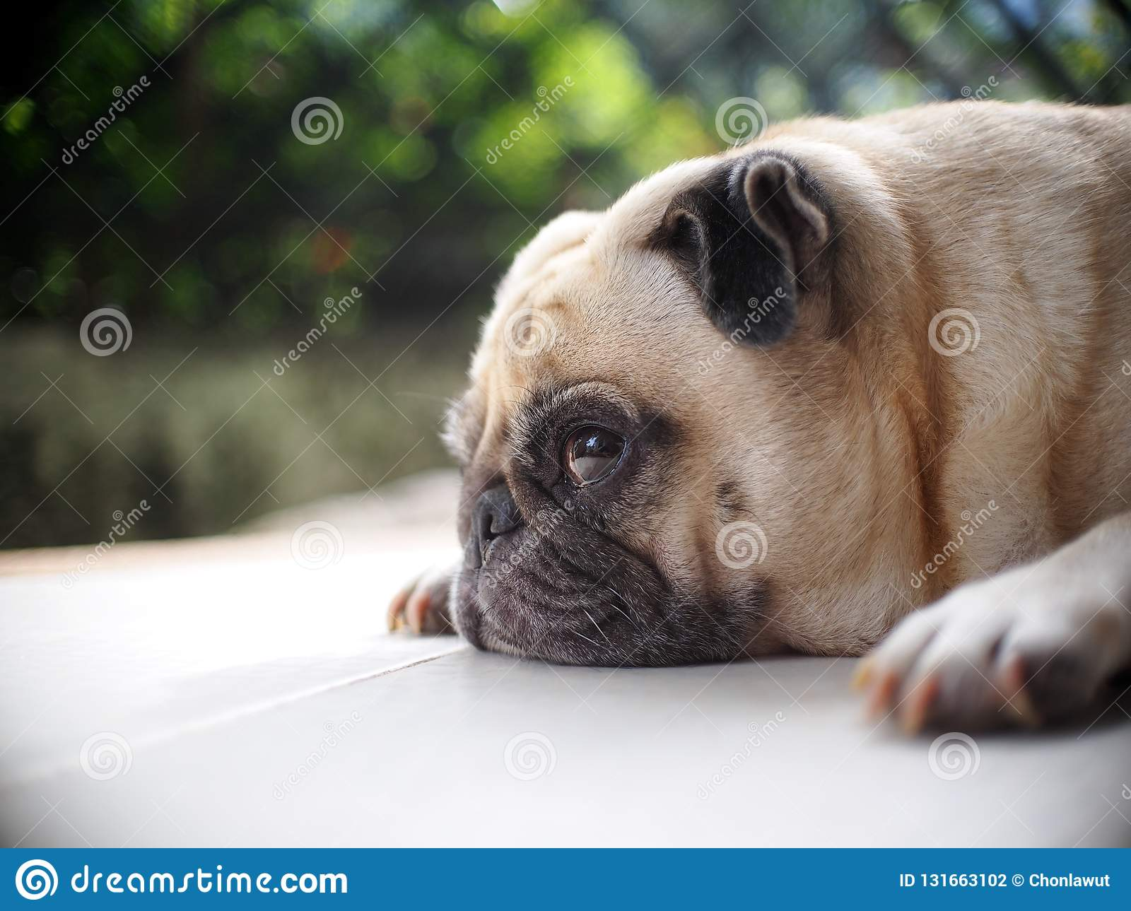 Portraits photo of a lovely white fat cute pug dog laying flat home garden floor making sad and lonesome face under natural sunlight outdoor shallow depth
