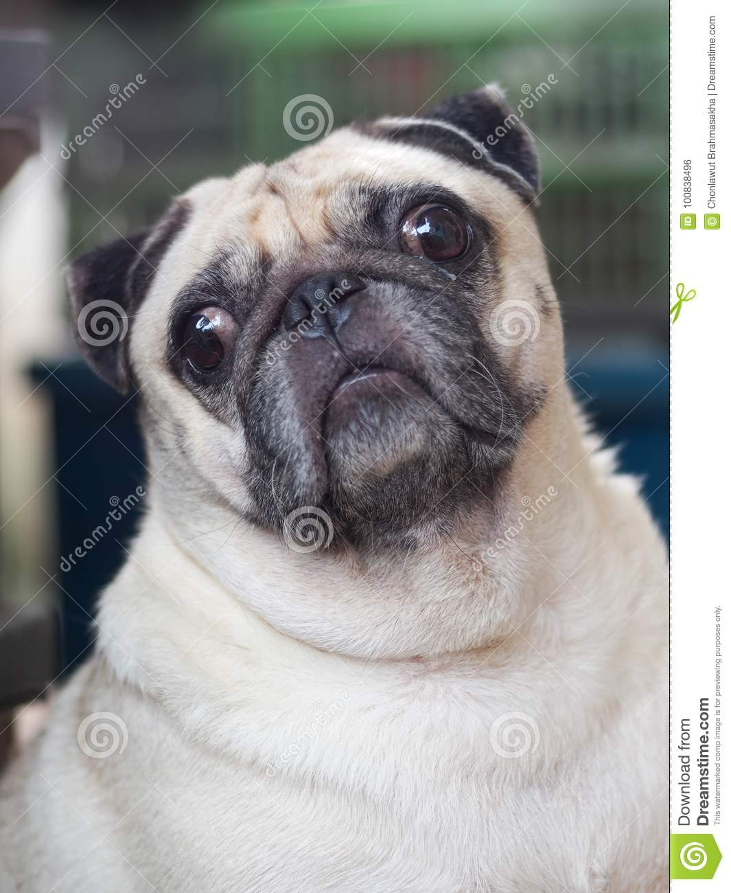 Portraits photo of a lovely white fat cute pug dog sitting outdoor garden home making sad and lonesome face under natural sunlight outdoor shallow depth of