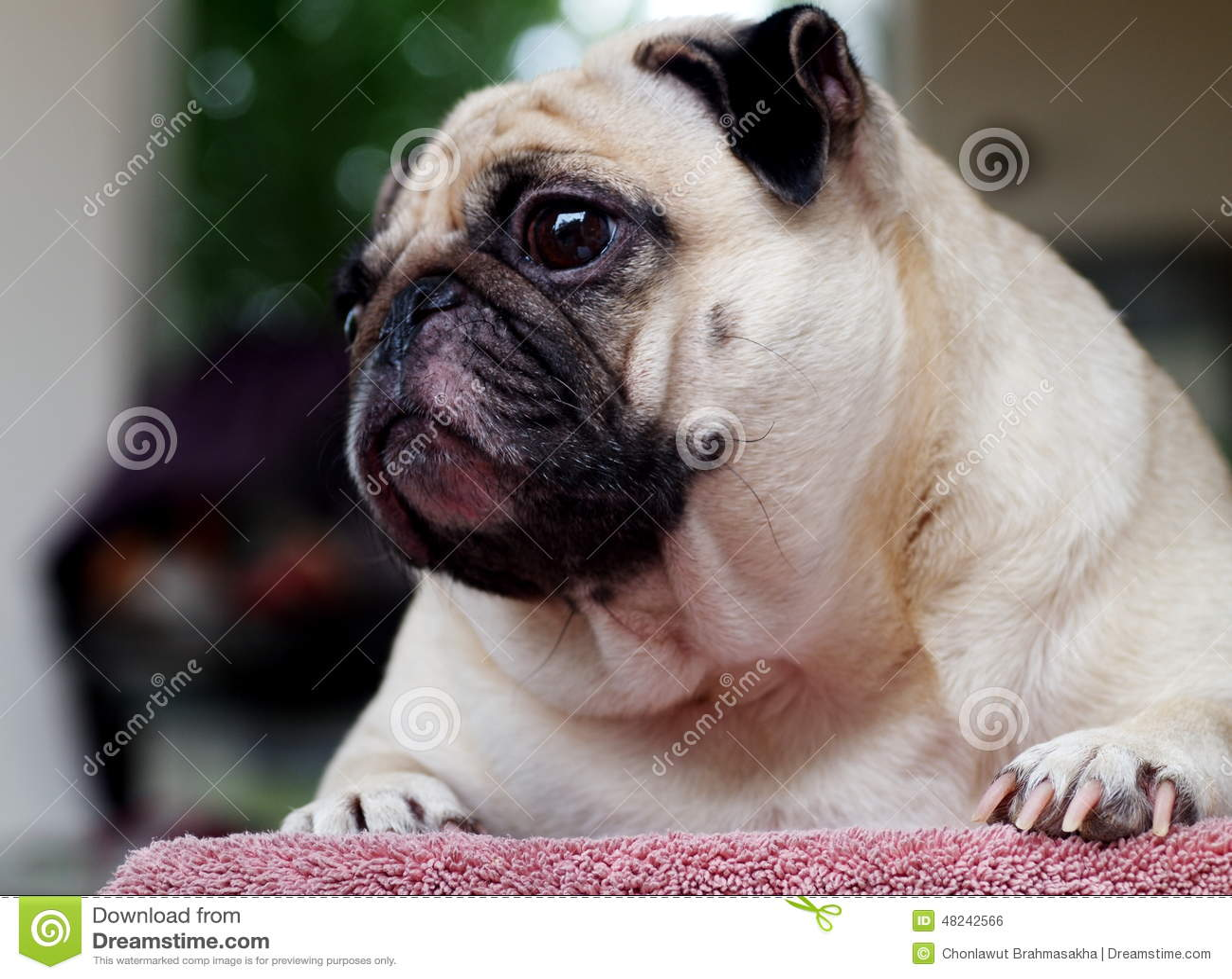 Portraits Of A White Pug Stock Photo Image 48242566