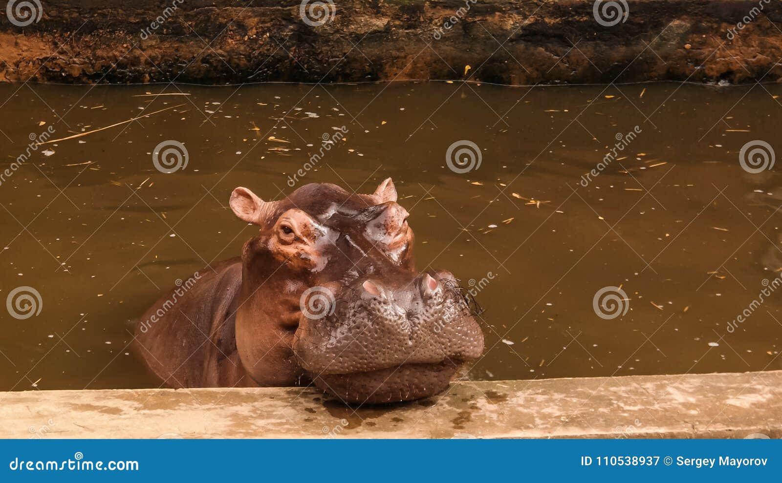 Portret łasowanie hipopotam w Niamey przy Niger