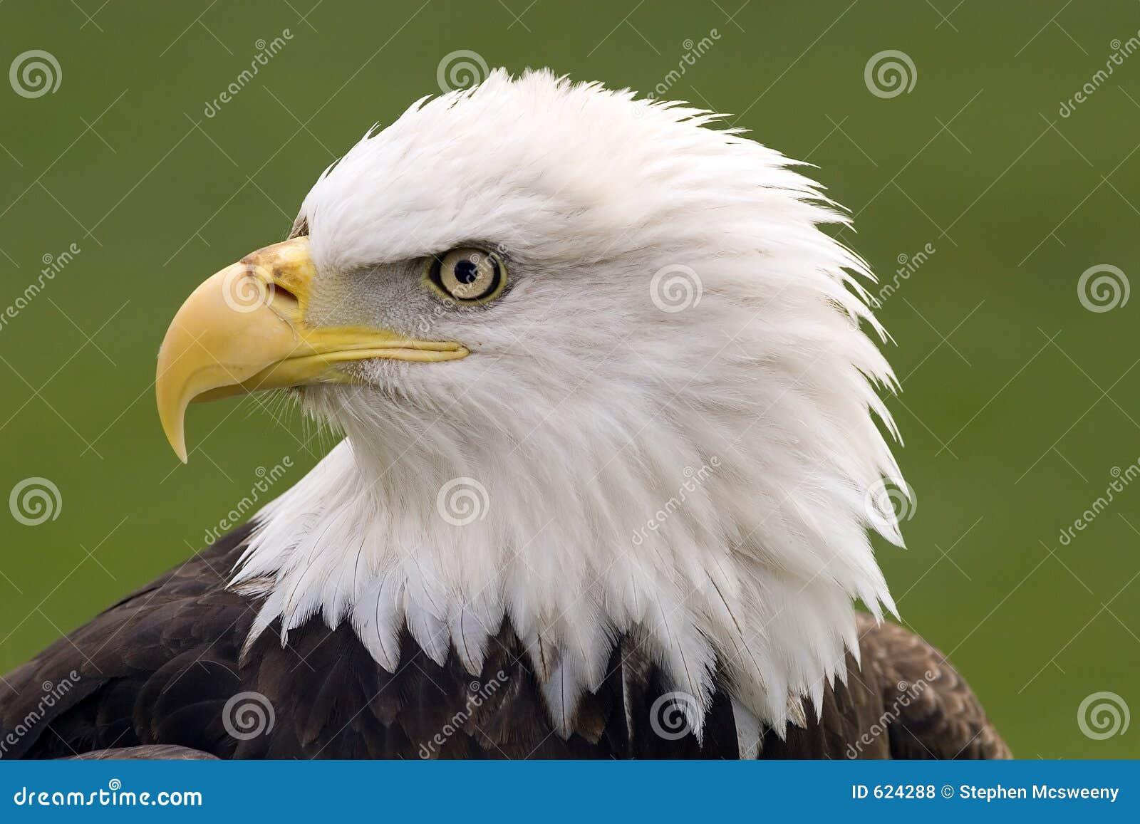 Portret łysego orła